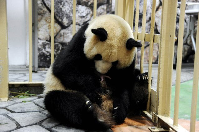 This handout picture taken by Wakayama Adventure World on December 3, 2014 shows female giant panda Rauhin holding one of twin giant panda babies at the Wakayama Adventure World zoo at Shirahama in Wakayama prefecture, western Japan. (Photo by AFP Photo/Wakayama Adventure World)