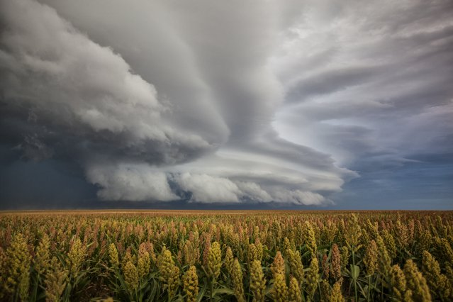 A shelf cloud advances over a field of wheat, on September 22, 2014, in Colorado. (Photo by Roger Hill/Barcroft Media)