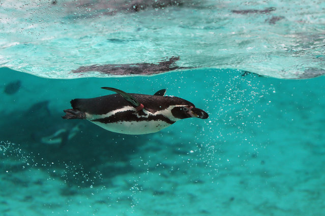 A Humboldt penguin swims in it's enclosure during the ZSL London Zoo's annual stocktake of animals on January 5, 2015 in London, England. (Photo by Dan Kitwood/Getty Images)