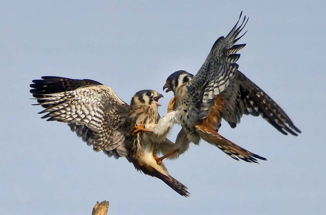 A female and male American Kestrel, formerly known as the Sparrow Hawk, have a family spat near Newberry, Florida, on July 25, 2013, while teaching their newly fledged young how to make their way in the wild.  The American Kestrel is the smallest falcon in North America. (Photo by Phil Sandlin/Associated Press)