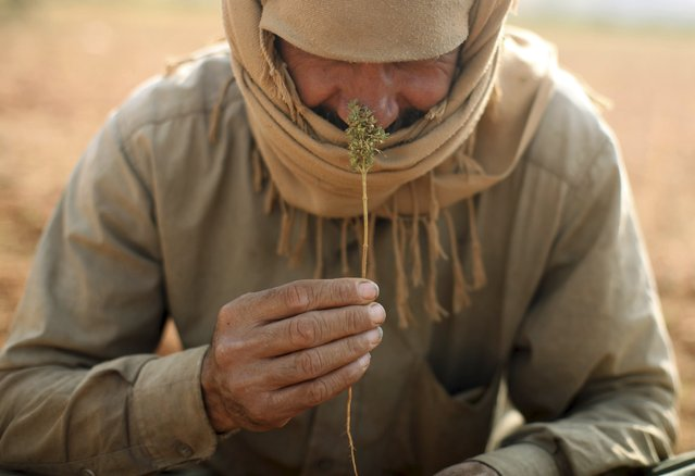 """A Syrian refugee (who asked to withhold his name) from Raqqa, smells a cannabis bud while resting during the harvest in the Bekaa valley, Lebanon October 19, 2015. He used to work with the Syrian government and fled Raqqa three years ago. He is wanted by Islamic State and """"even when I'm far, I'm scared of them"""", he said. (Photo by Alia Haju/Reuters)"""