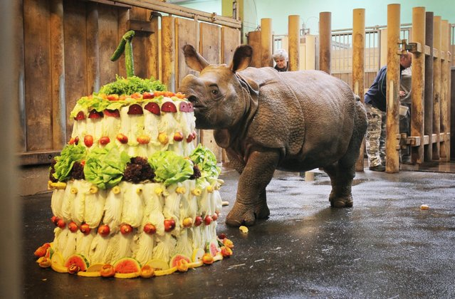 A female Indian rhinoceros called Maruska eats a vegetable birthday cake on her first birthday celebration at the Plzen Zoo on February 3, 2015 in Plzen, Czech Republic. (Photo by Ladislav Nemec/Isifa)