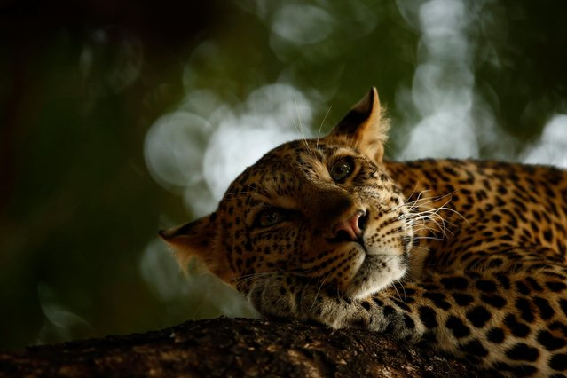 Lounging leopard by Skye Meaker, South Africa — grand title winner, 15-17 years. Old Mathoja was dozing when they finally found her, lying along a low branch of a nyala tree in Botswana's Mashatu Game Reserve. Mathoja means 'the one that walks with a limp' injured when she was a cub, but otherwise she is a healthy, calm eight-year-old. The morning light was poor, leaves kept blowing across her face, and her eyes were only ever open briefly, making it hard for Skye to compose the shot he was after. Finally, a shaft of light gave a glint to her eyes, helping him to create his memorable portrait. (Photo by Skye Meaker/2018 Wildlife Photographer of the Year)