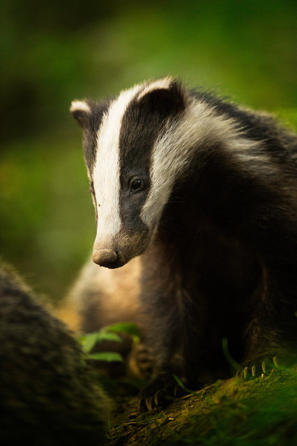 Animal portraits winner: Bean (Badger), Peak District National Park, Derbyshire. (Photo by Tesni Ward/British Wildlife Photography Awards)