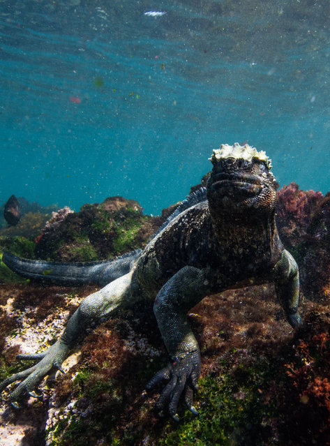 Marine iguanas are the only reptiles to feed exclusively on algae. After their foraging excursions in the sea, they will bask in the sun to warm up. (Photo by Philip Hamilton/The Guardian)