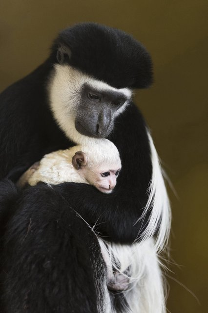 A female mantled guereza holds its four-day-old baby in the Nyiregyhaza Animal Park in Nyiregyhaza, 245 kms east of Budapest, Hungary, Wednesday, December 28, 2016. (Photo by Attila Balazs/MTI via AP Photo)