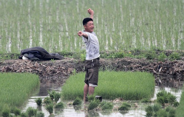 A North Korean farmer stretches as he works at a paddy field on the Hwanggumpyong Island, located in the middle of the Yalu River, near the North Korean town of Sinuiju, opposite the Chinese border city of Dandong, June 2, 2014. (Photo by Jacky Chen/Reuters)