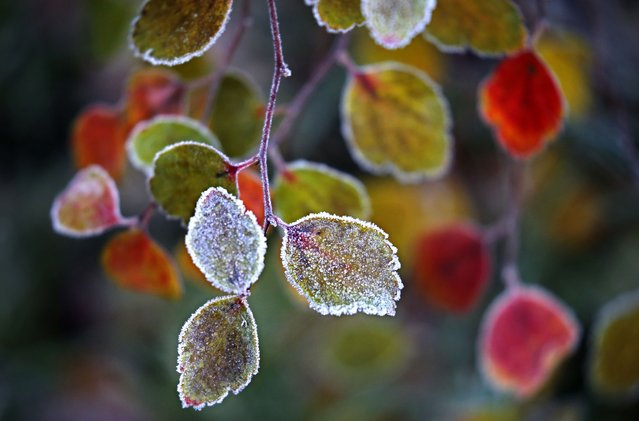 Hoarfrost covers the leaves of the bush in Moscow, Russia, 09 November 2017. (Photo by Yuri Kochetkov/EPA/EFE)