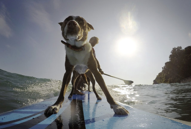 Australian dog trainer and former surfing champion Chris de Aboitiz (REAR) rides a wave with his dogs Rama (Front) and Millie (obscured) off Sydney's Palm Beach, February 18, 2016. (Photo by Jason Reed/Reuters)