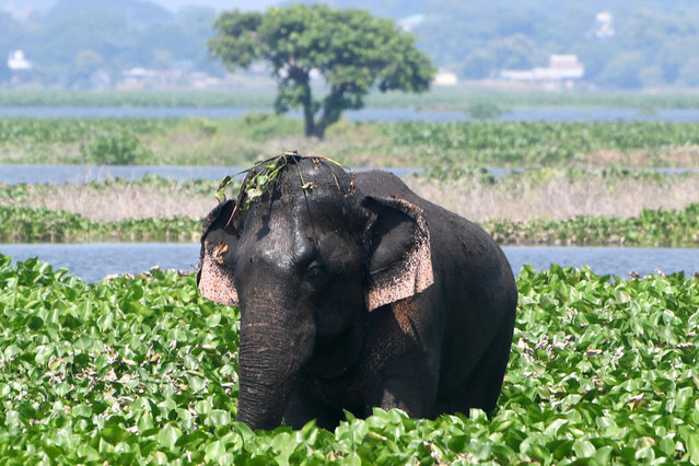 A wild elephants from the nearby Rani Forest reserve eat water hyacinths in the wetlands at Deepar Beel on the outskirts of Guwahati ,India on September 5, 2021. (Photo by Anuwar Hazarika/NurPhoto via Getty Images)
