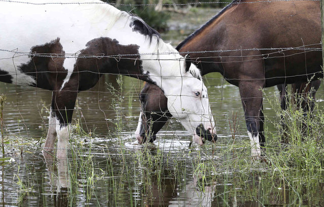 Horses graze in a flooded yard in Matagorda County, Texas, following Hurricane Nicholas on Tuesday, September 14, 2021. (Photo by Elizabeth Conley/Houston Chronicle via AP Photo)