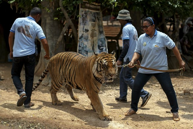 Volunteers walk with a tiger on leash during a head count at the Wat Pa Luang Ta Bua, otherwise known as the Tiger Temple, in Kanchanaburi province, Thailand, April 24, 2015. Thai officials from the Department of Wildlife and National Parks on Friday inspected microchips in the tigers held captivity at the popular Tiger Temple, home to more than 100 tigers, to update their database. (Photo by Athit Perawongmetha/Reuters)