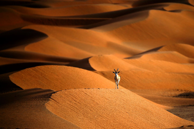 A sand gazelle is seen at the Arabian Oryx Sanctuary in Umm Al-Zamool, some 290 kilometres south of Abu Dhabi near the border with Oman and Saudi Arabia, on March 1, 2016. The sanctuary which is reserve for many different animals stretches over an estimated area of 8,900 square kilometres and currently hosts nearly 155 Arabian Oryx, which were reintroduced into the its natural habitat in the UAE in a five-year conservation plan launched by UAE's late ruler Sheikh Zayed bin Sultan Al Nahyan, after fears of their extinction. (Photo by Karim Sahib/AFP Photo)