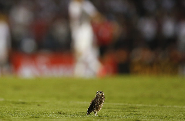 An owl stands on the pitch during a Copa Libertadores soccer match between Brazilian teams Sao Paulo FC and Cruzeiro in Sao Paulo, Brazil, Wednesday, May 6, 2015. (Photo by Andre Penner/AP Photo)