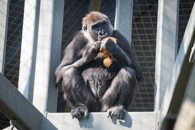 A gorilla named Susie eats a pumpkin in her enclosure at the Columbus Zoo and Aquarium in Powell, Ohio in this October 25, 2014 handout photo provided by the Columbus Zoo on March 31, 2016. (Photo by Amanda Carberry/Reuters/Columbus Zoo and Aquarium)