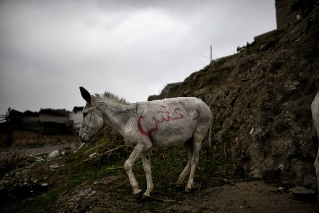 """A donkey spraypainted with """"Daesh"""", the Arabic acronym for the Islamic State group, stands on a hill outside Mosul on March 2, 2017, during an offensive by security forces to retake the western parts of the city from Islamic State (IS) group fighters. (Photo by Aris Messinis/AFP Photo)"""