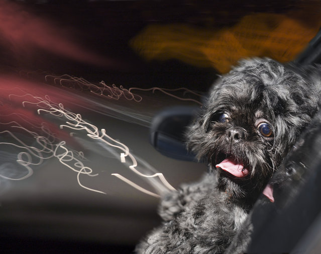 "A black shih tzu sits in a boot in Los Angeles, California. A wacky photographer has come up with an unusual pet project – snapping ecstatic dogs as they hang their heads out of car windows. Lara Jo Regan, 48, embarked on the odd task for her new 2014 calendar ""Dogs In Cars"". The unusual shoot, which took place in Los Angeles, California, aimed to explore the joy experienced by pugs and huskies when a breeze hits their faces. (Photo by Lara Jo Regan/Barcroft Media)"