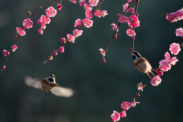 Two black-throated bushtits fly among branches of a flowering tree in Wuxi, east China's Jiangsu Province. (Photo by Pan Zhengguang/Xinhua News Agency/Barcroft Images)