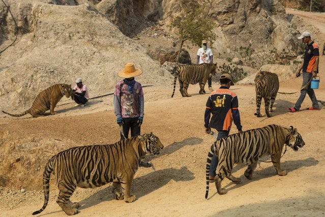 Staff walk several tigers back to enclosures after an afternoon of photography sessions with visitors to Tiger Temple in Kanchanaburi, Thailand, March 16, 2016. The government has ordered the temple to stop breeding tigers, charging fees to tourists and letting visitors feed tigers, officials say, but the temple has refused. (Photo by Amanda Mustard/The New York Times)