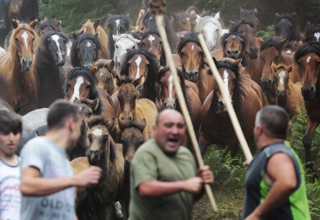 """Horses gallop as they are rounded up during the """"Rapa das Bestas"""" traditional event in the village of Sabucedo, northwestern of Spain, July 4, 2015. (Photo by Miguel Vidal/Reuters)"""