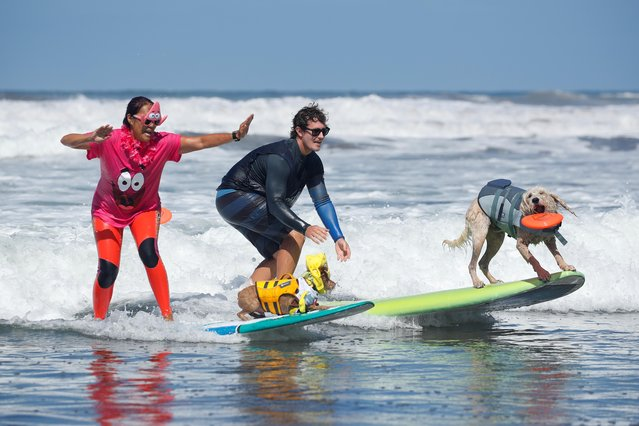 """People compete as they surf with their dogs at the 14th annual Helen Woodward Animal Center """"Surf-A-Thon"""" where more than 70 dogs competed in five different weight classes for """"Top Surf Dog 2019"""" in Del Mar, California, U.S., September 8, 2019. (Photo by Mike Blake/Reuters)"""