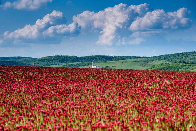 Crimson clovers (Trifolium incarnatum) bloom near Sagujfalu, Hungary, 19 May 2019. (Photo by Péter Komka/EPA/EFE)