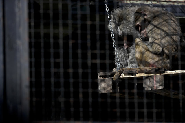 In this May 16, 2017 photo, baboons huddle inside their enclosure at the former city zoo now known as Eco Parque, in Buenos Aires, Argentina. Developers last July promised to relocate most of the zoo's animals to sanctuaries in Argentina and abroad, but they had made no firm arrangements to do so. And a new master plan announced Tuesday, May 23, 2017, still doesn't specify how they will accomplish it. (Photo by Natacha Pisarenko/AP Photo)