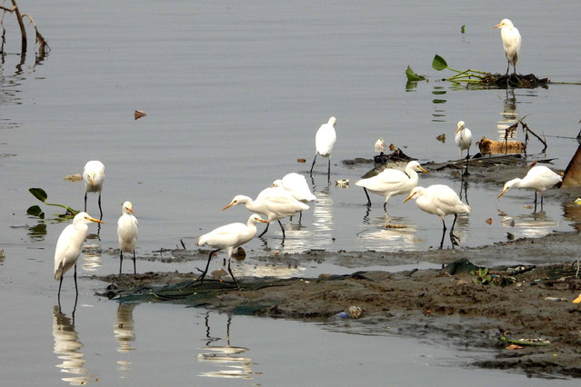 Egrets search for food in the polluted Brahmaputra River in Guwahati, India. (Photo by Anuwar Ali Hazarika/Barcroft Media)