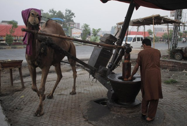 A camel helps a Pakistani vendor crush mustard seeds and extract oil for customers in Lahore, Pakistan, Wednesday, July 22, 2015. (Photo by K. M. Chaudary/AP Photo)