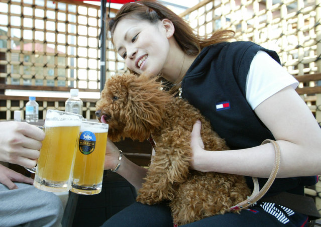 A dog owner drinks beer with it's owner at the Oedo Resort and Spa May 4, 2004 in Tokyo, Japan. (Photo by Koichi Kamoshida/Getty Images)