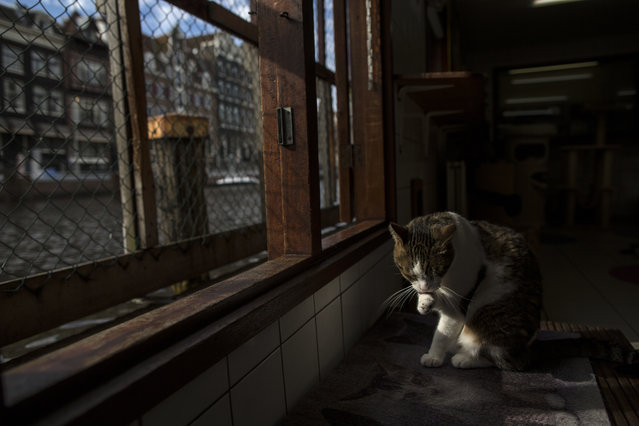 In this Wednesday, August 2, 2017 photo, Borre, an 8-year-old cat cleans himself at the Catboat shelter in Amsterdam, Netherlands. (Photo by Muhammed Muheisen/AP Photo)