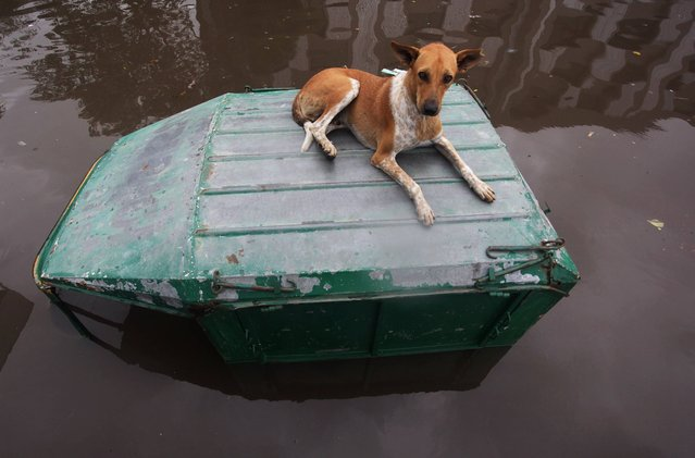 A street dog rests on a submerged vehicle in a waterlogged street in Ahmadabad, India, Wednesday, July 30, 2014. Normal life was thrown out of gear and rail and air traffic in several areas of Gujarat state were disrupted due to heavy rainfall, according to news reports. (Photo by Ajit Solanki/AP Photo)