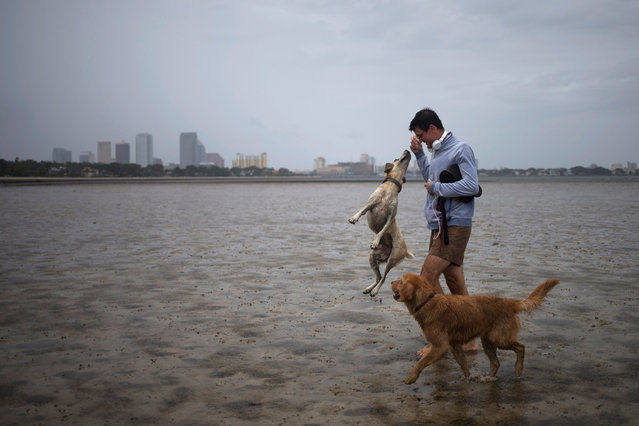 The Tampa skyline is seen in the background as local resident Tim Scheu uses sea shells to play with his dogs Stella and Mister in Hillsborough Bay ahead of Hurricane Irma in Tampa, Florida, U.S. September 10, 2017. (Photo by Adrees Latif/Reuters)
