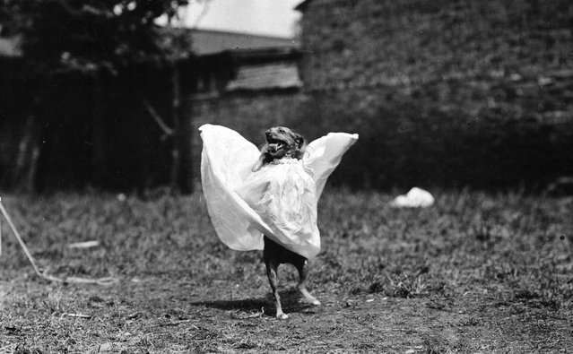 A performing dog wearing a dress and walking on hind legs. 1st June 1907.