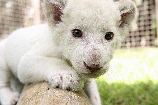Rare White Lion Cub Debut