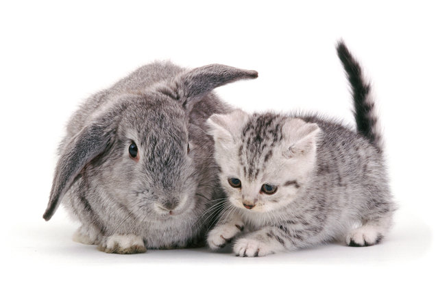 British Shorthair silver-spotted kitten, 8 weeks old, with silver Lop rabbit. (Photo by Mark Taylor/Warren Photographic/Caters News Agency)