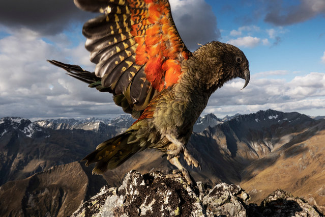 The endangered kea is the world's only alpine parrot, and one of the most intelligent birds. They show no fear of humans and are thieves and pranksters. The parrot is seen in the Whakaari conservation area, near Glen Orchy in the Otago region of New Zealand, a place where historic huts and mining relics are surrounded by stunning mountains covered in tussock. (Photo by Murdo MacLeod/The Guardian)