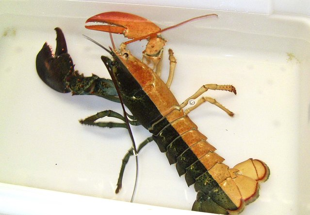 """A one-pound female lobster, known as a """"split"""", that was caught by a Massachusetts fisherman and arrived at the aquarium in Boston, October 31, 2012. Officials say such rare Halloween coloration is estimated to occur once in every 50 million lobsters. (Photo by Emily Bauernseind/New England Aquarium)"""