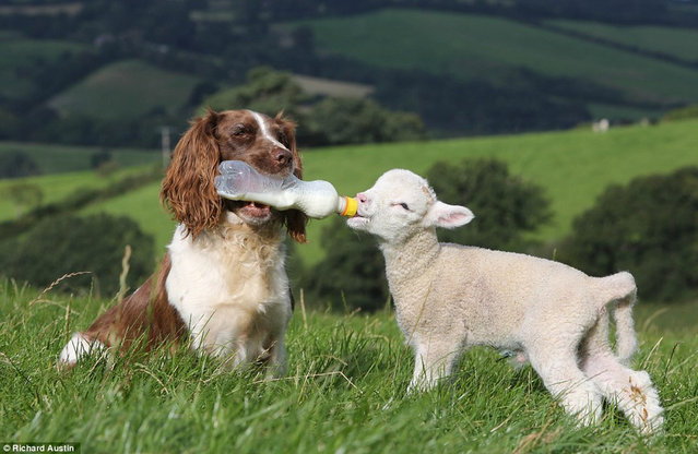 Spaniel Plays Mum For Lambs