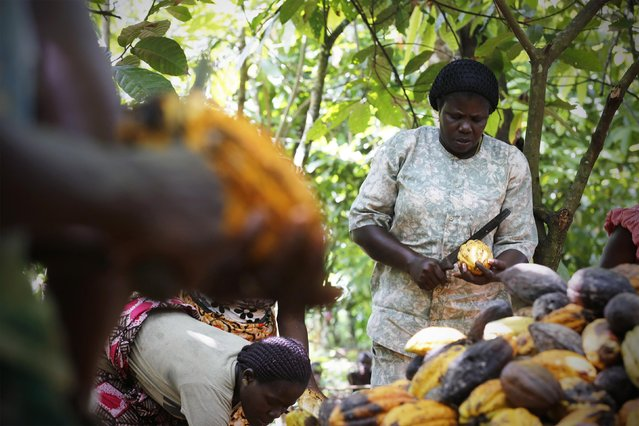 N'da Yao Messou, 48, president of local cocoa farmers association called BLAYEYA, works in a cocoa farm in Djangobo, Niable in eastern Ivory Coast, November 17, 2014. (Photo by Thierry Gouegnon/Reuters)