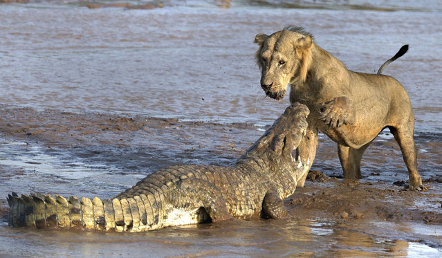 These roar-some images show the moment a pack of lions took on an angry crocodile in a vicious fight over food. Spotted narrowly avoiding the snapping jaws of the deadly croc, the formidable foes are seen competing head-to-head in an epic battle for feeding rights. After noticing the corpse of a dead elephant, the brave croc dared to enter the lions territory in an effort to get a piece of the action. (Photo by Caters News)