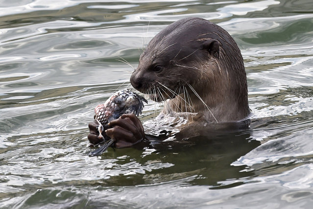 A wild otter feeds on fish at Marina bay reservoir in Singapore on October 3, 2016. Smooth-coated otters are commonly spotted in reservoirs and some parks and there some 50 otters estimated in Singapore. (Photo by Roslan Rahman/AFP Photo)