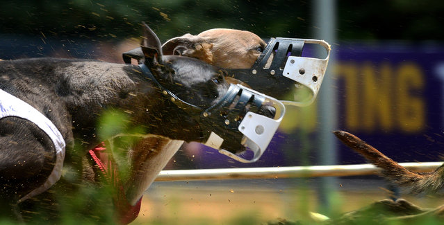 Greyhounds compete at Wheeling Island Racetrack on August 8 in Wheeling, WVA. (Photo by Bonnie Jo Mount/The Washington Post)