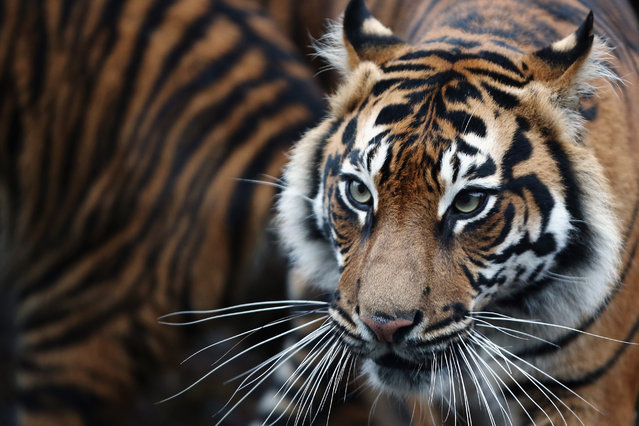 A Sumatran Tiger walks through it's enclosure during the ZSL London Zoo's annual stocktake of animals on January 5, 2015 in London, England. (Photo by Dan Kitwood/Getty Images)