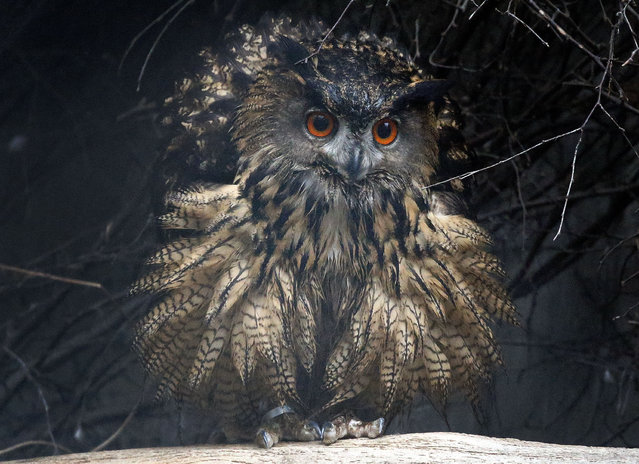 A European eagle owl prances in its new outdoor enclosure at the zoo in Duisburg, Germany, Friday, January 30, 2015. Two of these in danger of extinction birds are newly hosted by the zoo. (Photo by Frank Augstein/AP Photo)