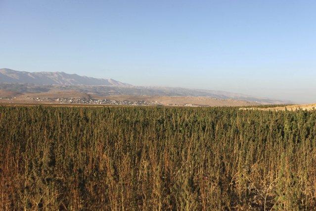 Cannabis plants grow in a field in the Bekaa valley, Lebanon October 4, 2015. (Photo by Alia Haju/Reuters)