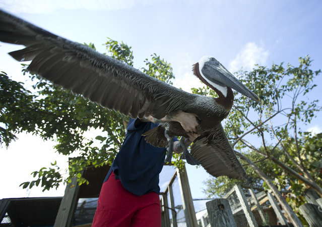 Teresa Sepetauc releases a pelican after it was treated at Miami's Pelican Harbor Seabird Station, Tuesday, February 3, 2015. While most seabirds are released after treatment, about 25 birds will be there for their lives. Sepetauc, the rehabilitation manager, reports in 2014, the station treated almost 2,000 birds, a record for them. (Photo by J. Pat Carter/AP Photo)
