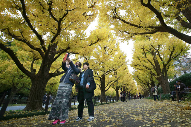 Women take a selfie with yellow leaves of ginkgo trees at Jingu Gaien, the outer garden of Meiji Jingu Shrien, in Tokyo, Monday, November 21, 2016. The avenue, lined with more than 100 gingko trees, attracts hundreds of thousands of people every autumn to admire beautifully colored leaves. (Photo by Shizuo Kambayashi/AP Photo)