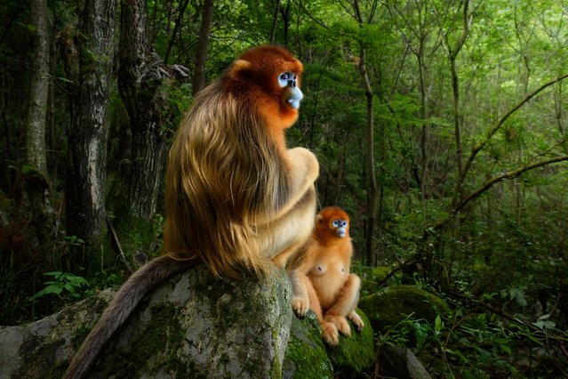 The golden couple by Marsel van Oosten, The Netherlands — grand title winner, Animal portraits. A male Qinling golden snub-nosed monkey rests on a stone, joined by a female from his group. Both are watching an altercation down the valley between the lead males of two other groups in the 50-strong troop. It's spring in the temperate forest of China's Qinling mountains, the only place where these endangered monkeys live. To show both a male's beautiful pelage and striking blue face, Marsel had to shoot at an angle from the back. It took many days observing the group to achieve his goal. (Photo by Marsel van Oosten/2018 Wildlife Photographer of the Year)