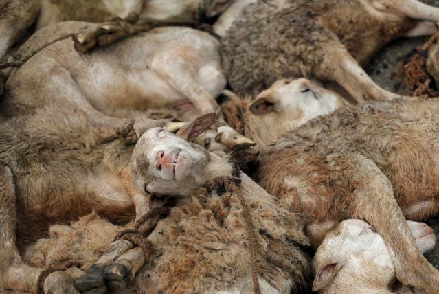 Sheep for sale lie on the ground La Saline slaughterhouse in Port-au-Prince, Haiti, March 19, 2015. (Photo by Andres Martinez Casares/Reuters)